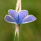 Common Blue Butterfly by Lisa  Baker-Richardson