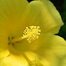 Yellow Hibiscus 2 by Dawne Dunton