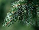 Pine Branch by Gene Walls