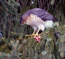 Cooper's Hawk In The Pines by Gene Walls