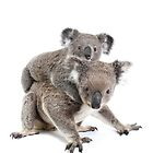 A koala Happy Birthday 2P by Gerry Pearce