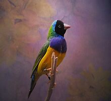 Gouldian Finch by swaby