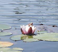 Waterlilly  by janeysmurf