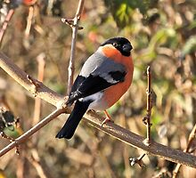 Not Only Robins Have a Red Breast! by dilouise