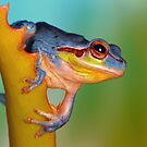 Blue Hyla meridionalis by jimmy hoffman