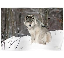 Wolf in Canadian Winter Poster