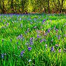 Wild Bluebells in Oversley Wood, UK by Elana Bailey