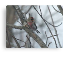 Common Redpoll - Male Canvas Print