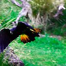 Red Tail Black Cockatoo by Guyzimij