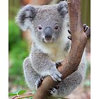 The koala - Australia's cutest by Gerry Pearce