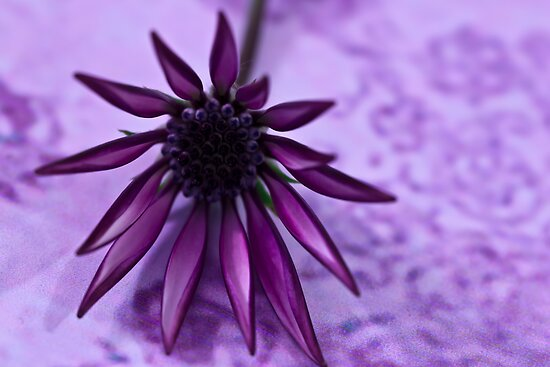 Gazania Macro - Lavender Background  by Sandra Foster