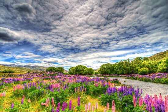 The Wild Lupins of Lindis Pass by Robyn Carter