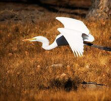 Great Egret in Flight by homendn