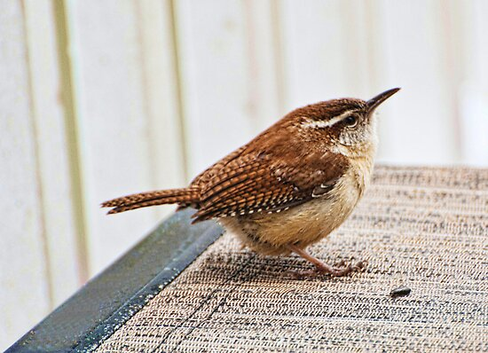 Lonely little Wren by barnsis
