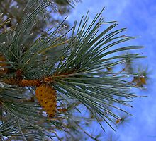 Pine Tree Branch End by finsphotos