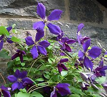 Purple Petals On The Vine - Clematis flowers by Jane Neill-Hancock