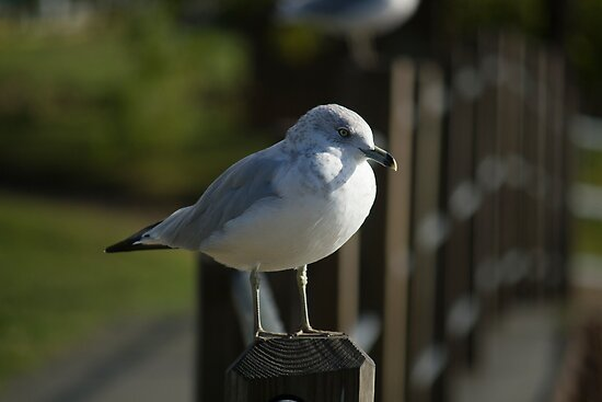 Ringed-billed Gull by njumer