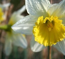 Daffodil and Dew- our garden by PepperPotPics