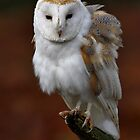 Barn Owl by Gary Richardson