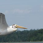 Winnipeg White Pelican by CarryOnWayward