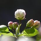 Apple Blossom by Martha Medford