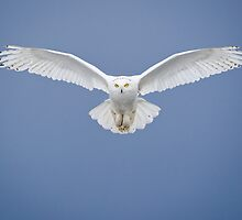 Snowy Owl - Male by (Tallow) Dave  Van de Laar