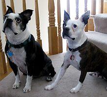 Boston Terriers by ritmoboxers