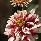 Mature White Zinnia by Joy Watson