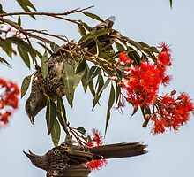 Fighting Wattle Birds by ZanneArt