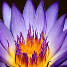 Lotus glow by Stephanie Johnson