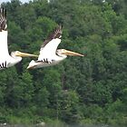 White Pelicans In Flight by CarryOnWayward