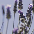Lavender by Trudi Skinn