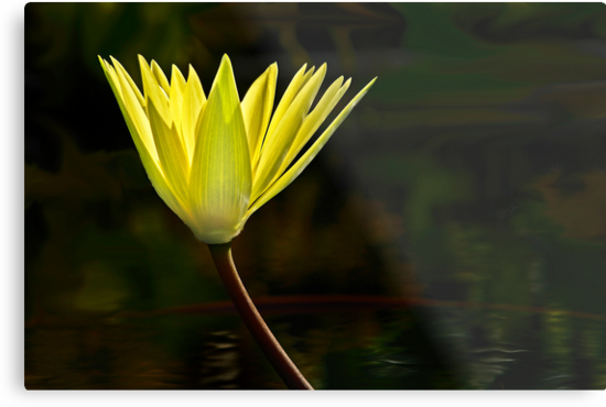 Waterlily - Yellow by cclaude