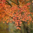 Fall Japanese Maple by DMRPhotos