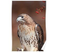 Red -Tailed Hawk ~ Poster