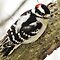Downy Woodpecker by lorilee