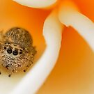 (Servaea vestita) Jumping Spider on Frangipani #2 by Kerrod Sulter