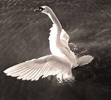 Swan by seanusmaximus