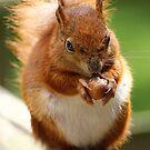 red squirrel by brett watson
