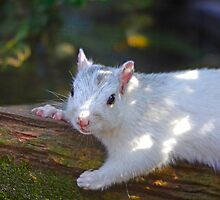 White Squirrel Hanging Out by imagetj