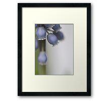 Grape Hyacinth V Framed Print
