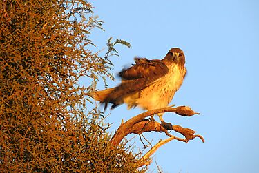 Red-tailed Hawk at Sunset by Kimberly P-Chadwick