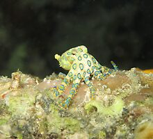 Greater Blue-ringed octopus by eugenesim