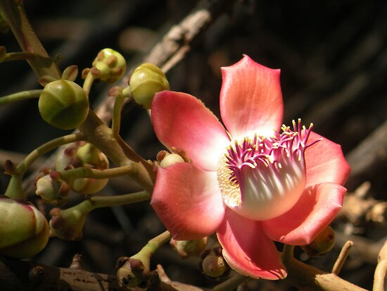 Cannonball Blossom by hiwalani
