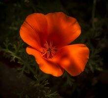California Poppy (Eschscholzia californica) by Elaine Teague