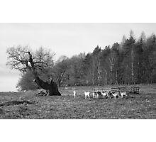 Fallow Deer Roaming Free Photographic Print