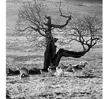 Bradgate Park Fallow Deer Photographic Print