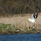 Three Canada Geese and an American White Pelican by Deb Fedeler