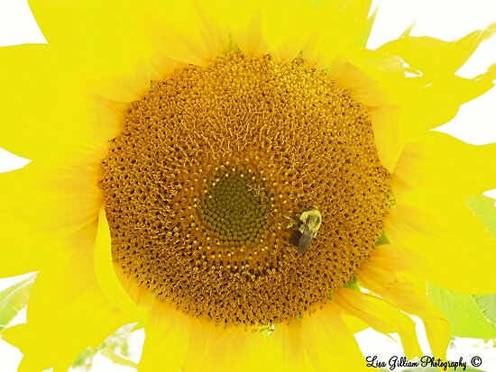 Sunflower by Lisa Gilliam Photography