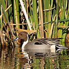 Northern Pintail (Male) by Kimberly P-Chadwick